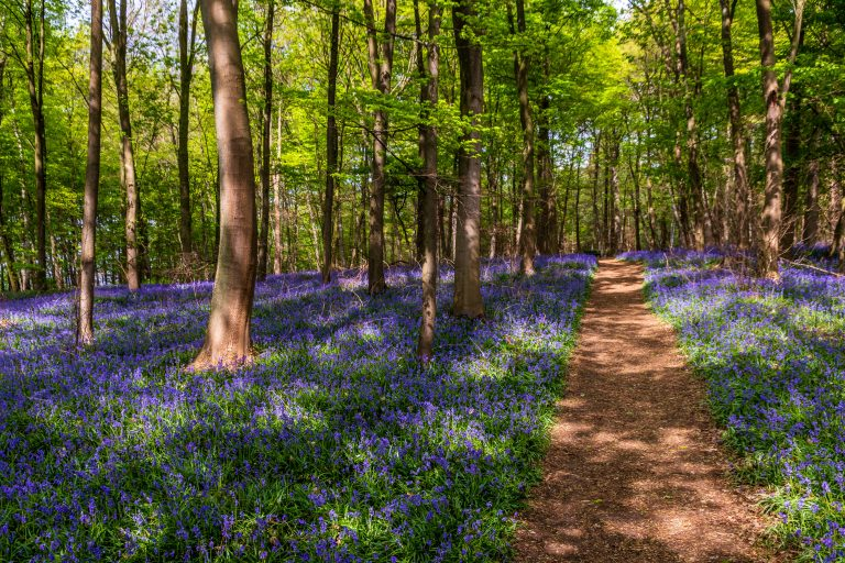 bluebells and trees greenery